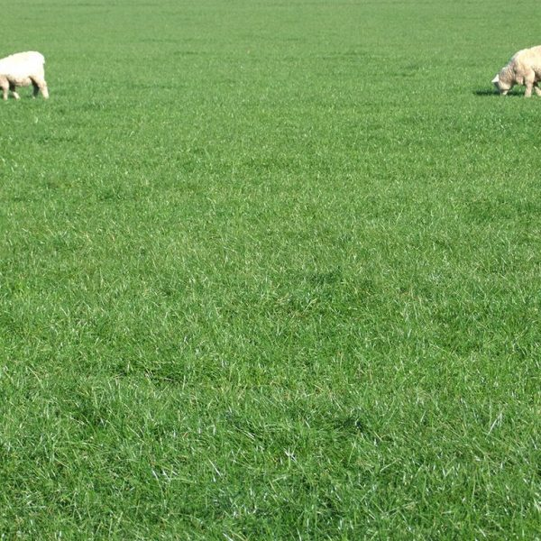 Aberdart is a lawn seed and grass seed type which can be used as lawn turf