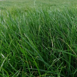 Wesco Seeds sells a grass seed type called Abermagic which is a perennial ryegrass Seed