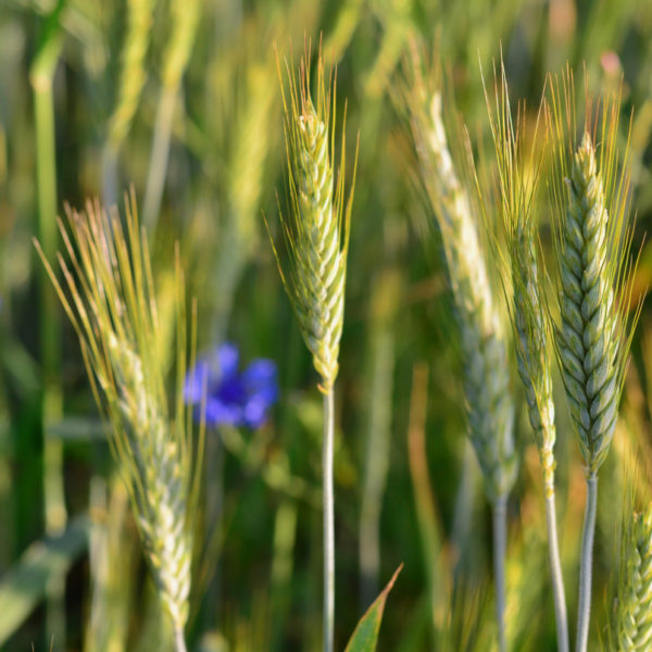 Wesco seeds sell NZ Ryegrass and pasture seed mixes which we can treat with Dynastrike treatment