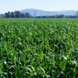 Armstong Oats cereal grass seed is grown at Wesco Seeds in the South Island