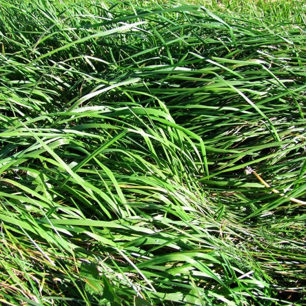 Wesco sells types of Grass seed such as Assured Cocksfoot lawn grass