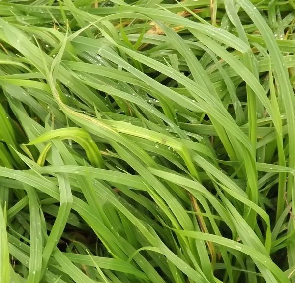 Bareno is a type of grass seed sold by Wesco Seeds in the South Island