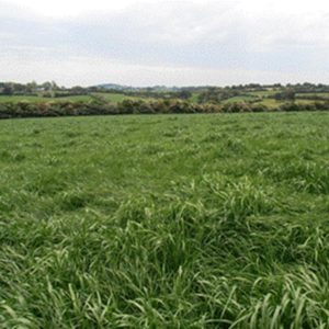 We sell grass seed types such as Bealey perennial ryegrass which is a lawn seed and pasture seed