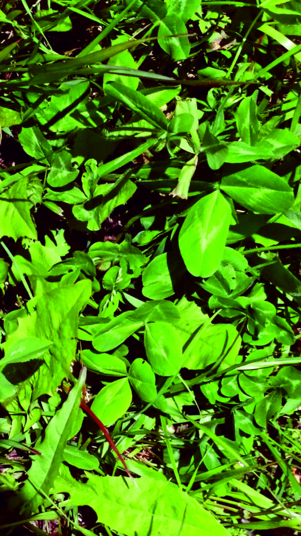 Wesco Seeds sell clover Pasture seed mixes and forage crops