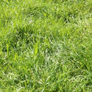 Wesco sell grass seed types such as Cocksfoot lawn seed and pasture seed in the South Island