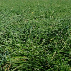 Wesco Seeds sell grass seed types such as Concord ryegrass seed which is sold in bulk