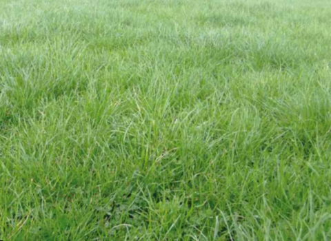 Elite Saxon Aqua Pak is a seed mixture which contains Perennial ryegrass, white clover seed and other grass seed types