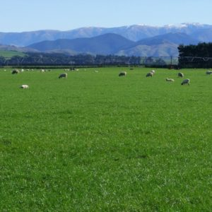 We sell Foxtrot perennial ryegrass seed bulk, this can also be used as Lawn seed as it is a lawn grass and also a pasture seed