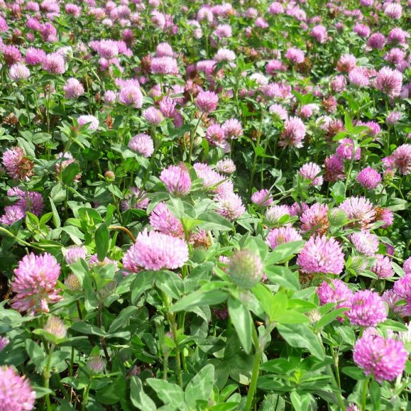 Wesco Seeds sells pasture seed such as Hamua clover seed