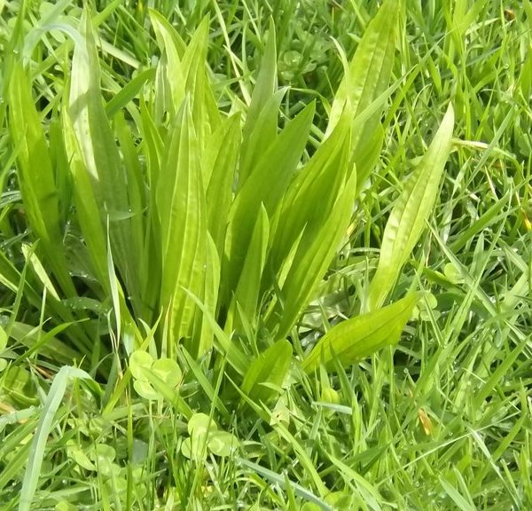 Hercules Plantain a type of grass seed and lawn seed sold in bulk in the South Island