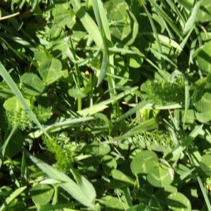 Pasture seed such as Huia White Clover seed has high Nitrogen fixing