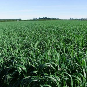 Magnum Oats cereal grass seed is grown at Wesco Seeds in the South Island