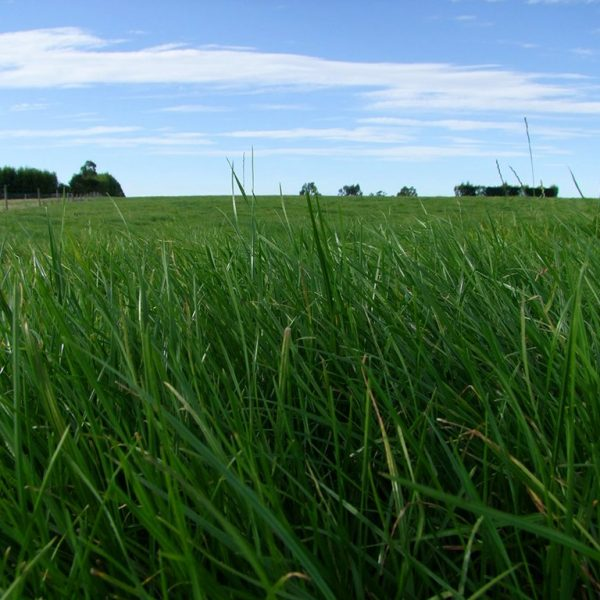 Wesco Seeds sells Grass seed type such as Matrix perennial ryegrass which is good winter production suitable for South Island Climates
