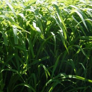 Millet Lawn Grass seed can be sold as bulk grass seed in the South Island