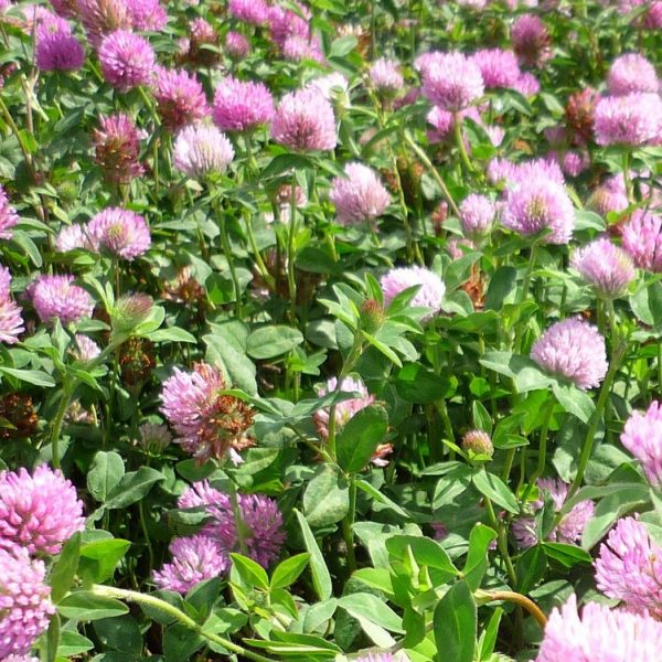 We sell bulk grass seed such as Montgomery Red clover seed in the South Island