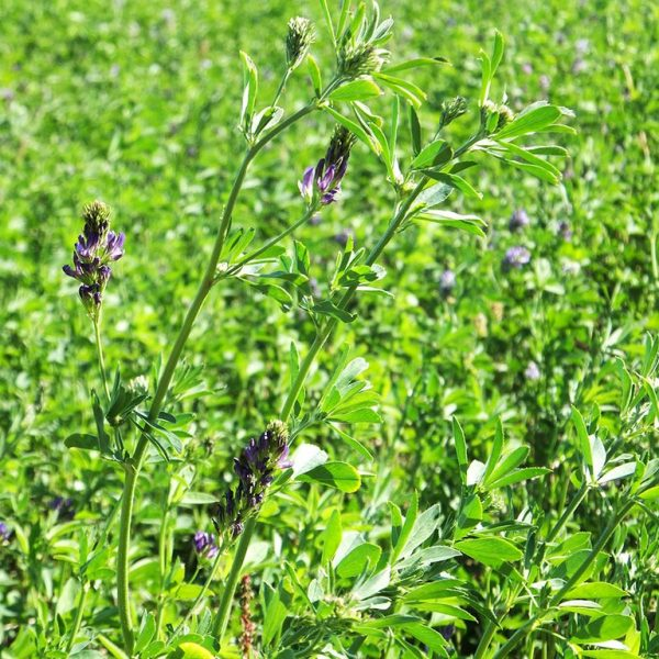 Wesco sells Multileaf lucerne lawn grass seed in the South Island which is frost tolerant great for Dry conditions such as the North Island