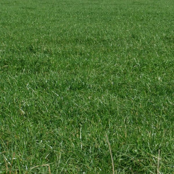 OCP is a grass seed, lawn seed and pasture seed which is disease resistant and high endopyte Perennial Ryegrass sold by Wesco Seeds in the South Island