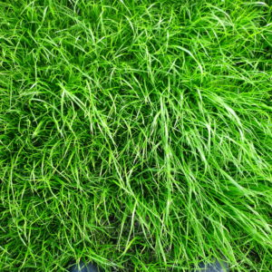 Buy grass seed online at Wesco Seeds