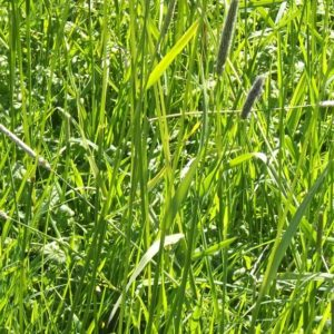 Wesco sells grass seed such as Phalaris perennial grass seed in the South Island