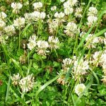 Wesco Seeds sell Pinnacle clover seed in bulk which is drought tolerant, suitable for North Island Climites