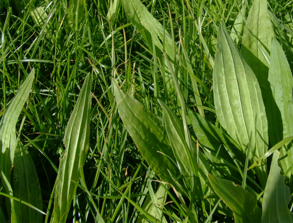 Plantain is a grass seed type that Wesco Seeds sell in the South Island