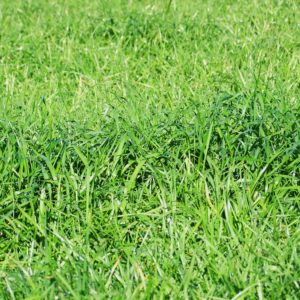 Rocket ryegrass seed is a type of grass seed sold bulk which is also a lawn seed in the South Island