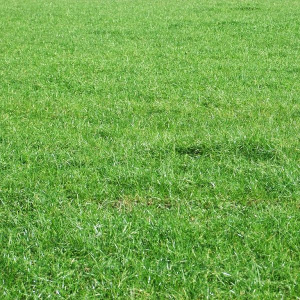 We sell Ruanui grass seed bulk, this can also be used as Lawn seed as it is a lawn grass and also a pasture seed