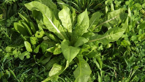 Sargent Chicory is a type of grass seed which is high in Magnesium, calcium and copper is a lawn seed sold in the South Island
