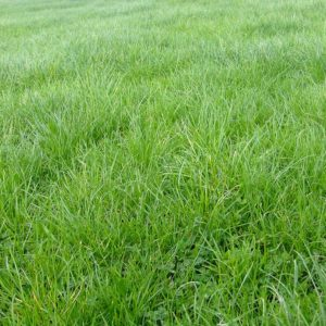 Saxon Rye Clover Plus seed mixture has 45% of Saxon Perennial Ryegrass in it and other grass types