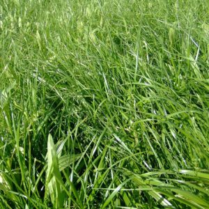 Saxon Ultra Pak seed mixture is idea for sheep, beef and deer growth and creates great milk production it contains clovers seed and other grass types