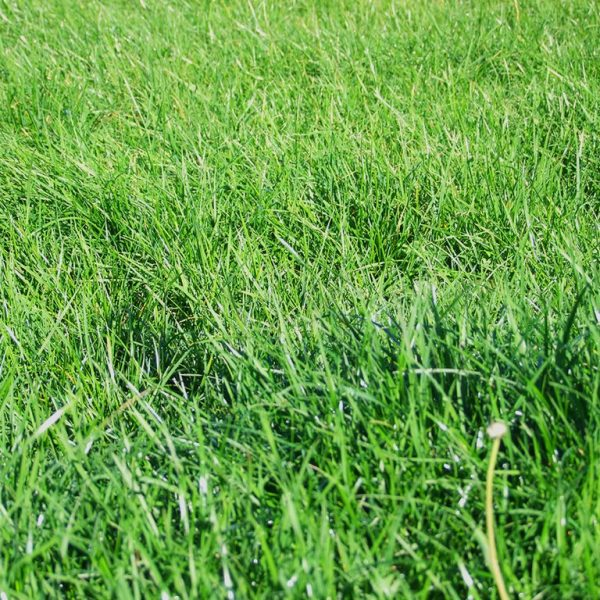 Super Nui is a type of Perennial ryegrass grass seed which can be used as lawn grass and is very hard wearing