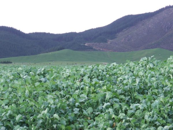 Wesco Seeds Sells bulk grass seed such as swede in the South Island