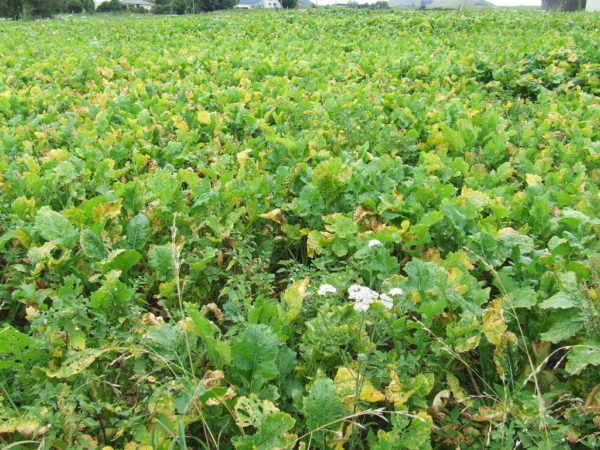 Wesco Seeds sell bulk grass seed such as Turnips in the South Island