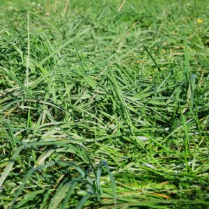 Vison Cocksfoot is a type of Lawn seed and pasture seed which is sold in bulk