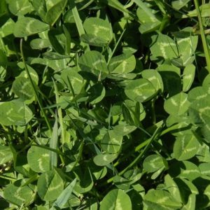 White Clover seed is a grass seed sold in bulk in the South Island