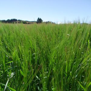 Wesco Seeds Sell Wrangler Barley lawn grass seed in the South Island