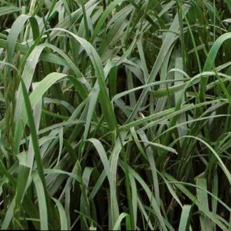 Active Ryegrass seed is a type of grass seed and lawn seed that Wesco Seeds Sell