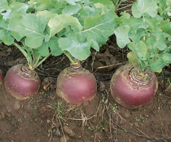 We sell vegetables such as the Doon Major Swede in the South Island