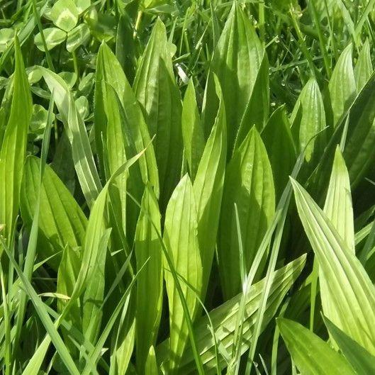 Chicory & Plantain