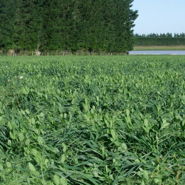 Forage peas oats is a grass seed mixture in the South Island of New Zealand