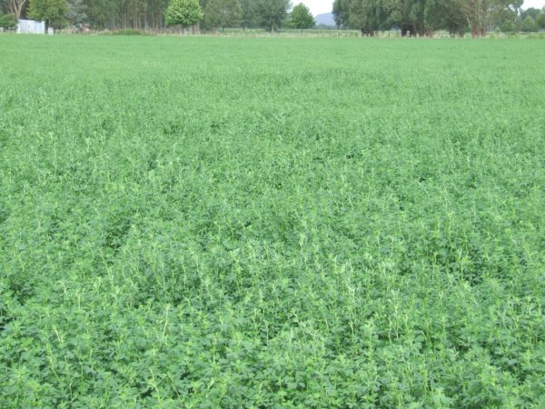 Buy Lucerne seed online at Wesco Seeds Ltd in New Zealand