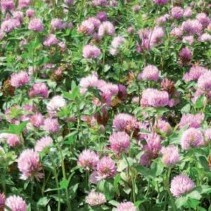 Wesco Seeds produces pasture seed such as Paeroa Red Clover seed in the South Island