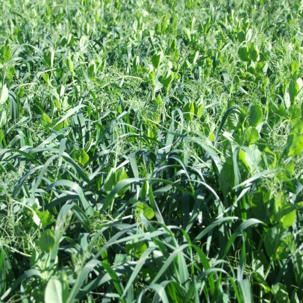 Wesco Seeds Ltd sell peas and oats online in New Zealand