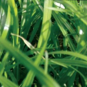 Rocket grass is an Italian ryegrass seed proven to grow in all New Zealand soil types. it is also a lawn seed