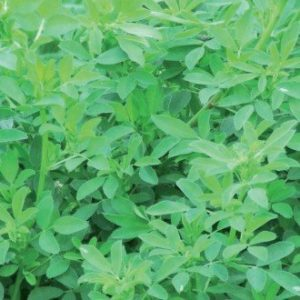 We sell Velvet Lucerne grass seed that is winter dormant and disease resistant also long lasting up to 6 years and over