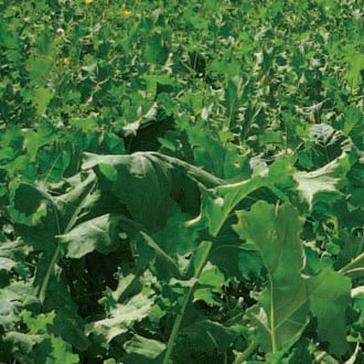 We sell bulk grass seed such as vibrant forage brassica in the South Island