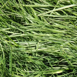 Italian Ryegrasses
