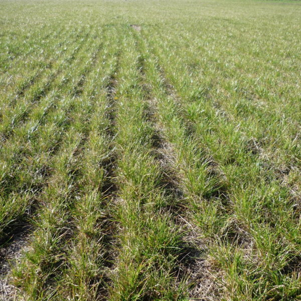 Buy Seed Mixes treated with dynastrike and goldstrike treatment at Wesco Seeds