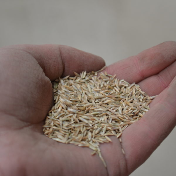 Wesco Seeds Sell perennial ryegrass seed bulk online we are located in the South Island in New Zealand