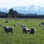 Wesco Seeds Cater for Sheep and Beef Farming we sell grass seed bulk online